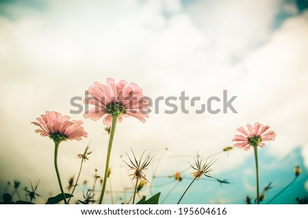 Zinnia flower and blue sky in the garden nature and park - stock photo