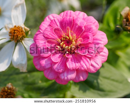 Zinnia flower  (Zinnia violacea Cav.), closeup of red Zinnia flower in full bloom,Youth-and-old-age flower  - stock photo