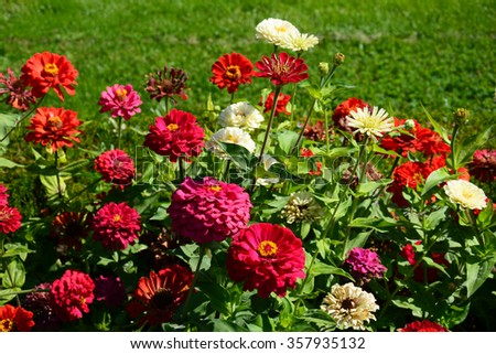Zinnia flowers blooming in the garden - stock photo
