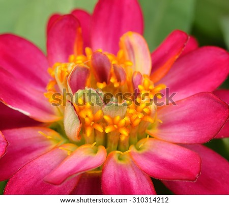 Zinnia flowers in the garden