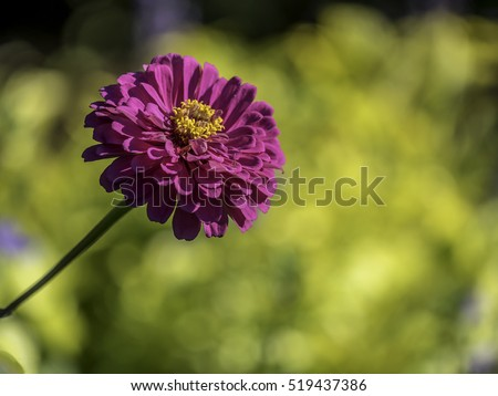 Zinnia is a genus of plants of the sunflower tribe within the daisy family