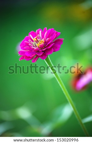 Zinnia There is a pink zinnia and a green background.  - stock photo