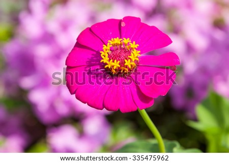 zinnias flowers - stock photo