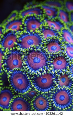 Zoanthus sp. green, pink, corals, Zoanthids, Zoos, Zoanthid Polyps, Sea Mats, Button Polyps