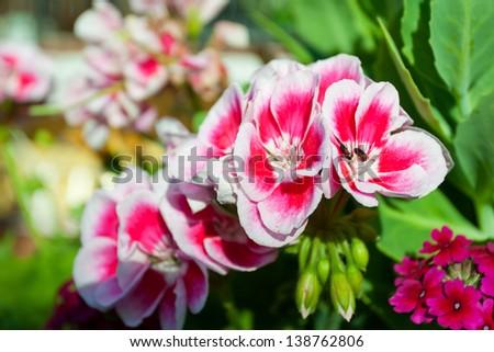 Zonal geranium plant pink - stock photo