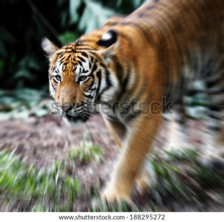 Zoom in closeup view of a Malayan Tiger scientifically known as Panthera Tigris Jacksoni.  - stock photo