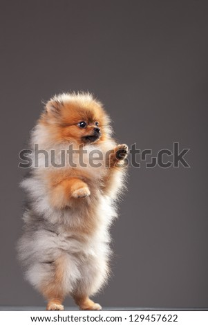 Zverg Spitz, Pomeranian puppy, eight months old - stock photo
