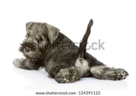 zwergschnauzer puppy lying with back turned towards the camera. isolated on white background - stock photo