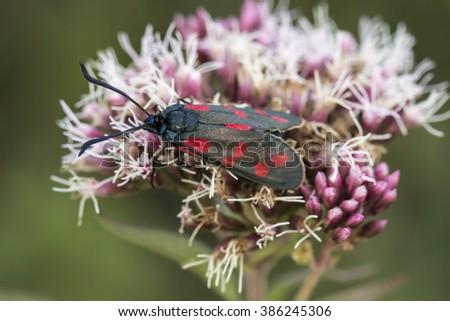 Zygaena filipendulae, Six-spot Burnet butterfly from Lower Saxony, Germany - stock photo