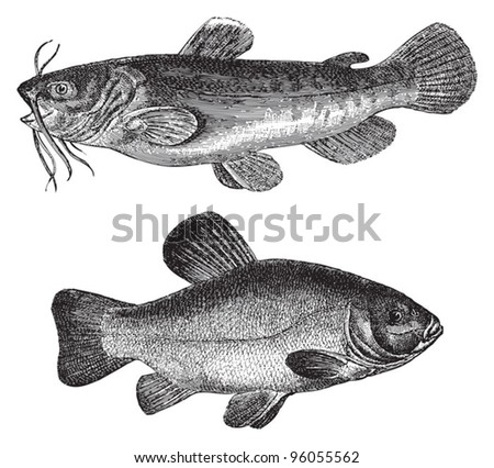 Brown bullhead (Amiurus nebulosus) above and Tench or doctor fish (Tinca vulgaris) under / vintage illustration from Meyers Konversations-Lexikon 1897 - stock vector