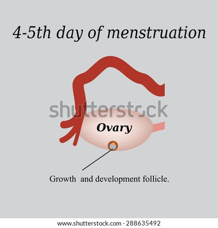 4-5 day of menstruation - the growth and development of the ovarian follicle. Vector illustration on a gray background. - stock vector