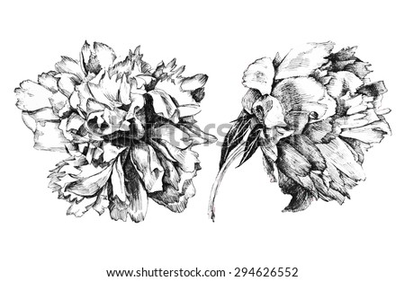 2 hand drawn peony flowers on white background