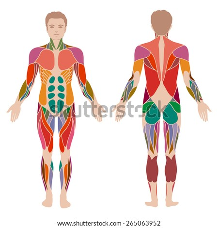 human anatomy vector stock images, royalty-free images & vectors, Muscles