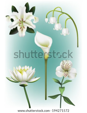 A Collection of White Lily Vector Illustrations