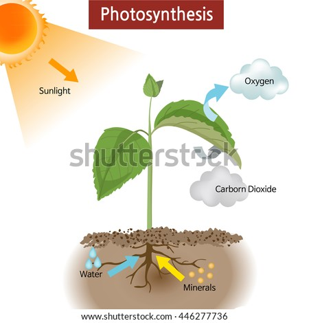 Photosynthesis diagram stock images royalty free images vectors a diagram showing how photosynthesis works on plants ccuart Image collections