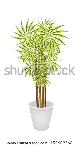A Dracaena Plant or Yucca Tree in Flowerpot for Garden Decoration Isolated on A White Background.