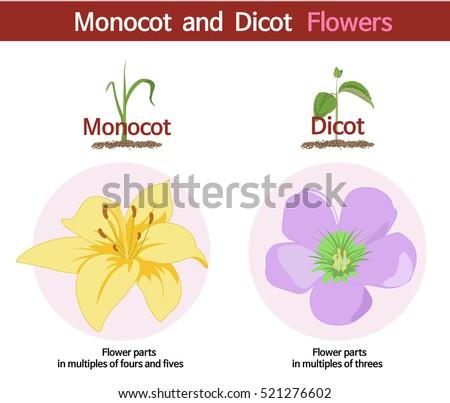 Picture Comparing Monocot Dicot Flowers Stock-Vektorgrafik 521276602 ...