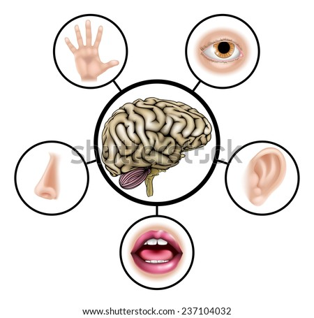 A science education illustration of icons representing the five senses attached to central brain - stock vector