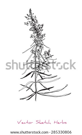 A vector black and white sketch of a herb (Linaria vulgaris), initially hand drawn in Chinese ink