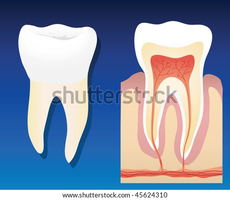 A vector illustration showing a complete healthy tooth with a cross section - stock vector