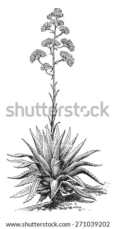 Agave, vintage engraved illustration. La Vie dans la nature, 1890.