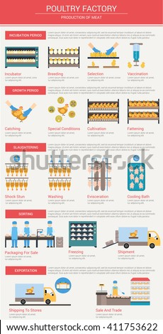Agriculture, animal husbandry infographics Production of chicken meat The incubation period breeding chickens, vaccination, growth and feeding of poultry Slaughtering and delivery of meat to the store - stock vector