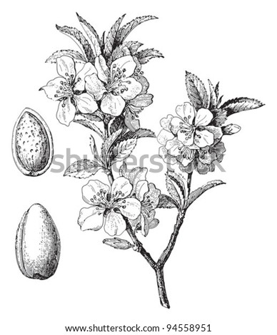 Almond (Prunus dulcis) / vintage illustration from Meyers Konversations-Lexikon 1897 - stock vector