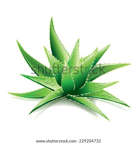 Aloe Vera isolated on white photo-realistic vector illustration - stock vector