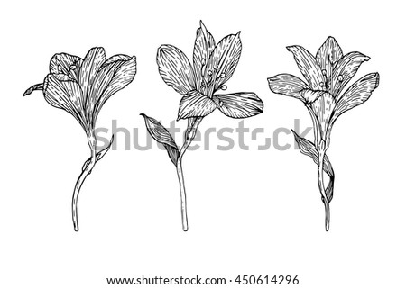 alstroemeria coloring pages - photo#20