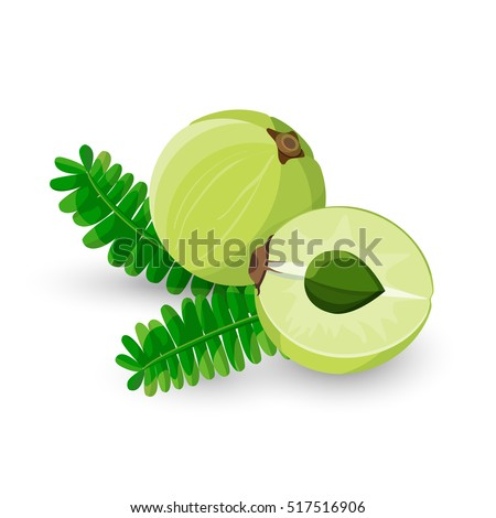 Amla fruit vector illustration. Indian gooseberry, Malacca tree, or amalika. Edible fruit. Used in medicine, culinary, inks, shampoos, hair oil