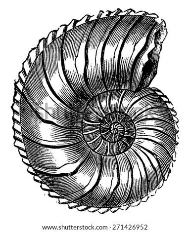 Ammonite Margaritas, vintage engraved illustration. Earth before man 1886. - stock vector