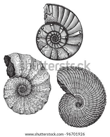 Ammonites - fossil shell (Triassic period) / Vintage illustration from Meyers Konversations-Lexikon 1897