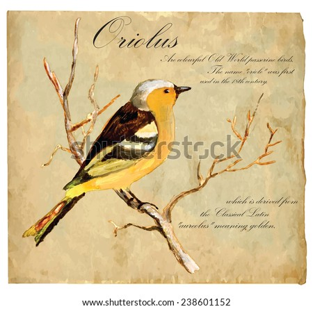 An hand painted illustration into vector picture. Bird: Oriolus - stock vector