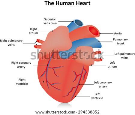 human heart anatomy stock illustration 448059550 - shutterstock, Muscles