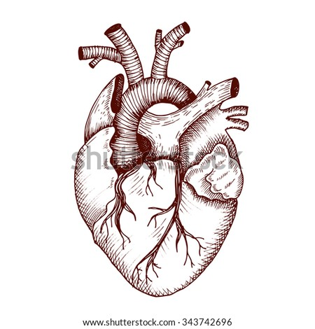 Anatomical Heart Vector Vintage Style Detailed Stock ...