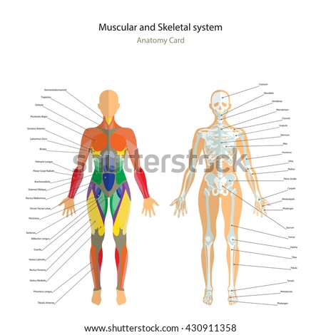 anatomy guide female skeleton muscles map stock vector 430911358, Skeleton