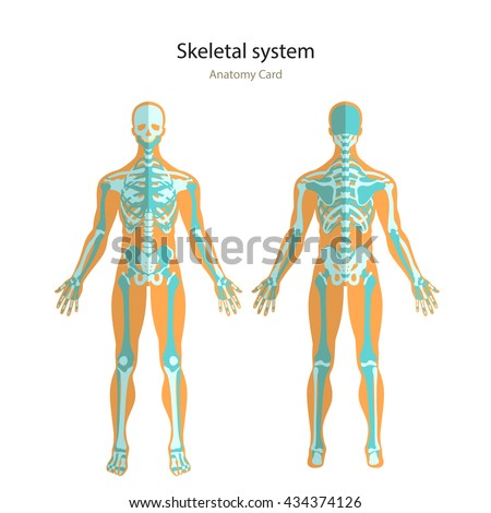 Anatomy guide of human skeleton. Anatomy didactic board of human bony system. Front and rear view.