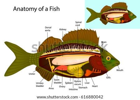 Anatomy Fish Fish Internal Organs Vector Stock Vector 616880042 ...