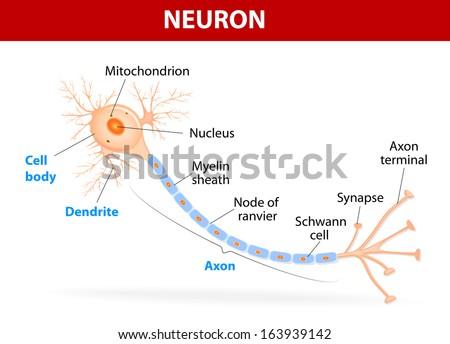 Anatomy Typical Human Neuron Axon Synapse Stock-Vektorgrafik ...