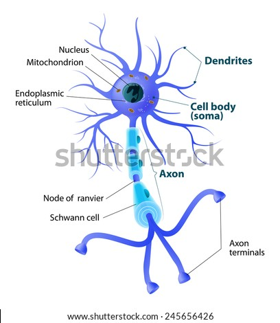 Anatomy of a typical human neuron. Structure neuron: axon, synapse, dendrite, mitochondrion, myelin sheath, node Ranvier and Schwann cell. labeled - stock vector