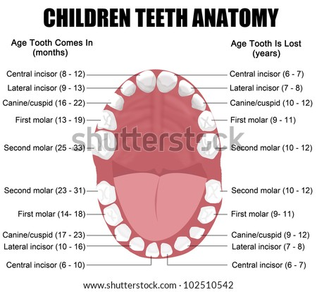Anatomy of children teeth (shows eruption and shedding time), vector illustration (for basic medical education, for clinics & Schools) - stock vector