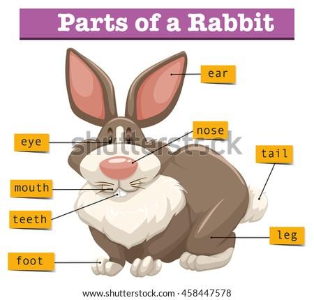 Anatomy Cute Rabbit Illustration Stock Vector 458447578 Shutterstock