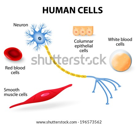 Anatomy of human cells (neuron, red and white blood cell, columnar epithelial cells and smooth muscle cells). vector illustration - stock vector