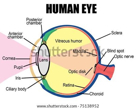 Anatomy of human eye, vector illustration (for basic medical education, for clinics & Schools) - stock vector
