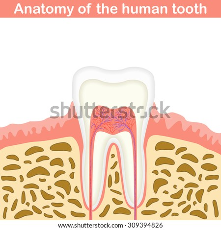 Anatomy of human tooth illustration, unmarked medical scheme, 2d vector on white background, eps 8 - stock vector