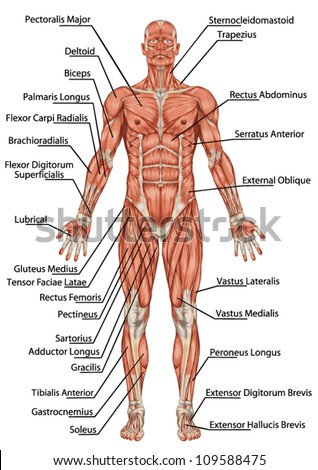 Anatomy Man Muscular System Anterior View Stock Vector Royalty Free