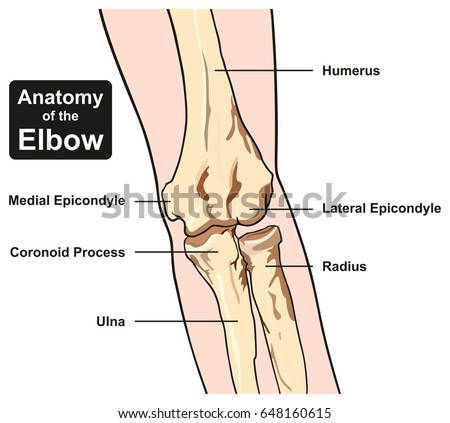 Anatomy Elbow Joint Diagram Including All Stock Vector Royalty Free