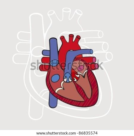 Anatomy of the heart. Vector. - stock vector
