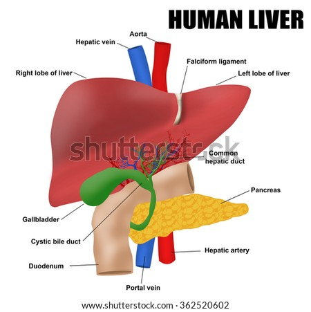 anatomy human liver vector illustration for stock vector 362520602, Human Body