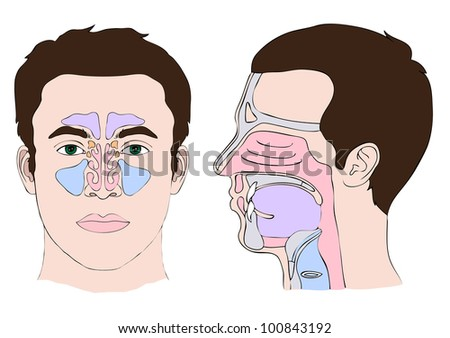 Anatomy of the nose and throat - stock vector
